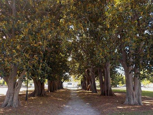 Morton Bay Fig Avenue