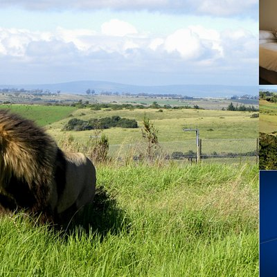 Our male lion, Jabu, accommodation available
