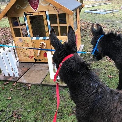 Our gorgeous miniature donkeys stopping off at the Gingerbread House