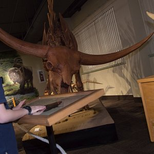 Bison latifrons - in the Ice Age Room