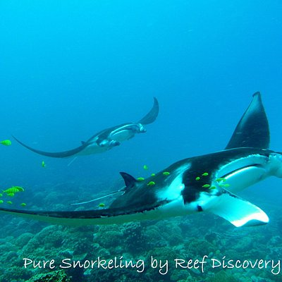 Wonderful manta rays