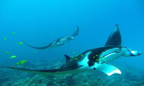 Wonderful manta rays