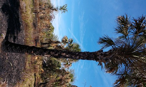 Palm tree that survived the burn