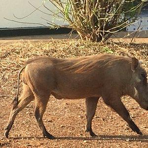 Warthogs in Mole