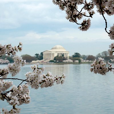 The Jefferson Memorial in Cherry Blossom Season