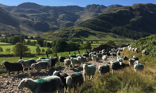 The farming season, bringing in the Herdwick Ewes