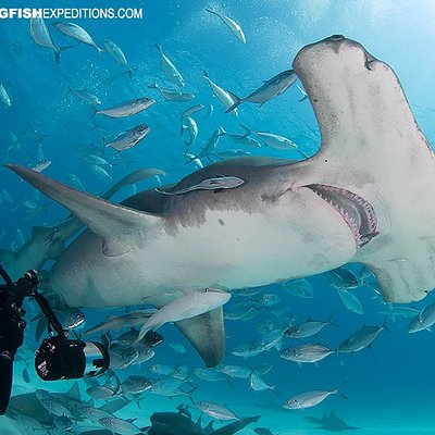 Diving with Great Hammerhead Sharks i the Bahamas.
