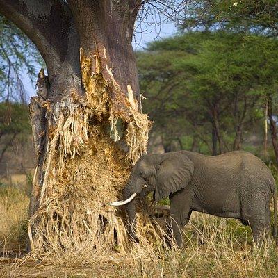Elephant in Tarangire national park.