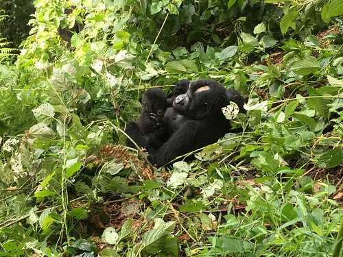 A mother gorilla with her young one in Bwindi impenetrable National park