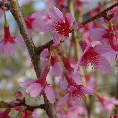 Bomencentrum Baarn;Japanse Kersenbloesem;Prunus