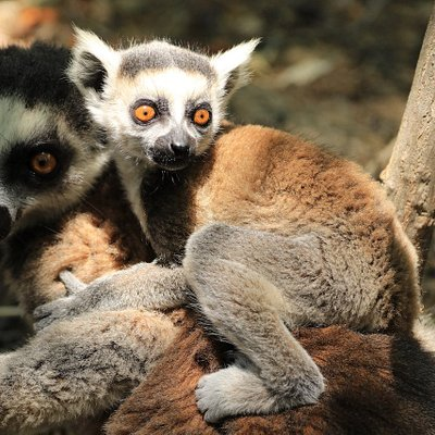 Wir bringen sie ganz nah zu den Lemuren