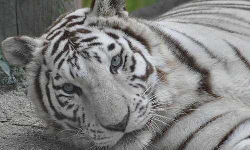 White Tiger at McCarthy's Wildlife Sanctuary