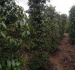 Pepper farm near Pelawan Forest