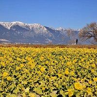残雪の比良山と菜の花のコントラストが美しい