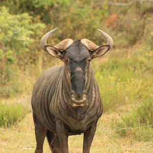 Wildebeest at Kariega Private Game Reserve
