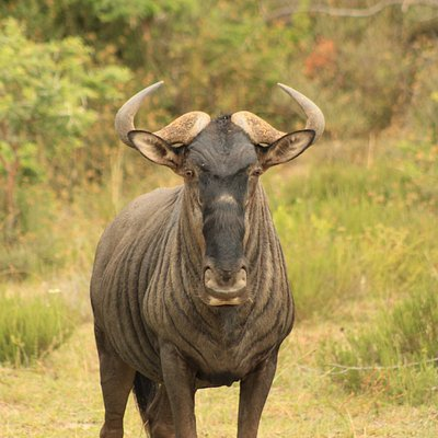 Wildebeest at Kariega Private Game Reserve