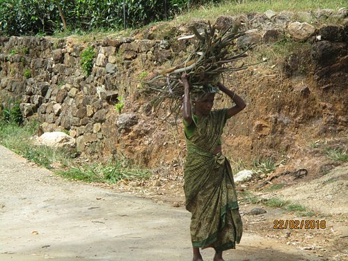 Local Tamil lady carrying firewood collected from the tea plantation