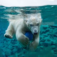 You can discover polar bears underwater!