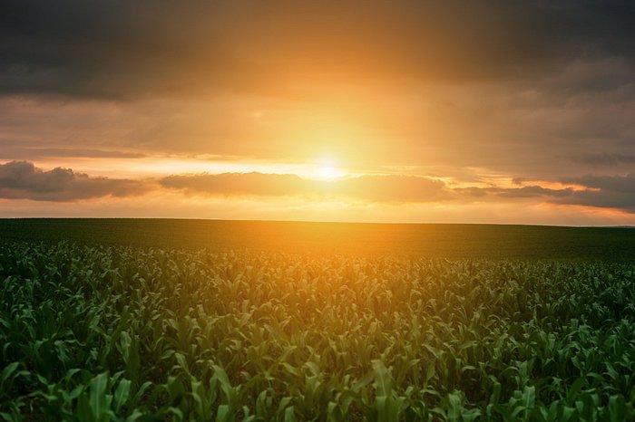 Tramonto sulla piantagione di mais