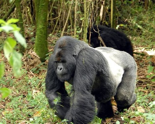 Silverback in Bwindi Impenetrable National Park