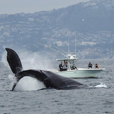 Humpback Whale reverse breach
