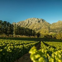 Simonsberg and Chardonnay view