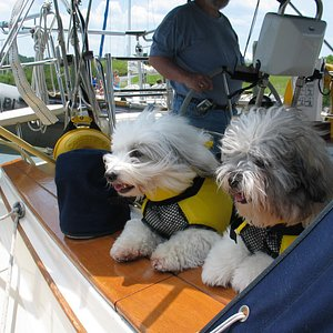 Coton de Tulears going to Annapolis