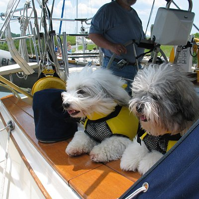 Coton de Tulears going to Annapolis