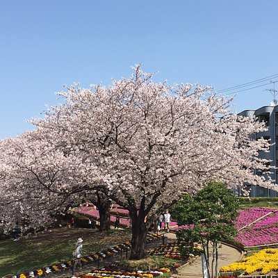 "April 1st 2018, there is a cherry festival. You may have some nicer viewing with ""Sakura""."