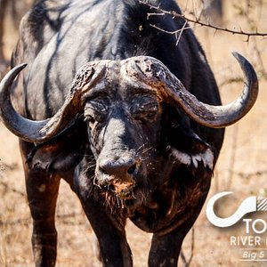 The hide on a bull African Cape Buffalo's neck is as thick as 2 inches in places, protecting the