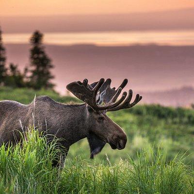 Bull moose at Glen Alps in the Chugach Mountains during Alaska Photo Treks Sunset Photo Safari.