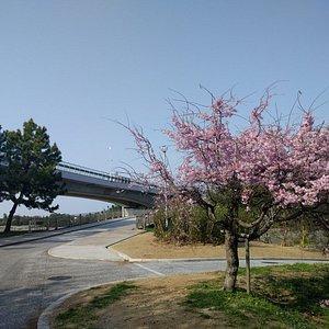 二色浜公園の北側に桜🌸たくさん咲いています。四月ニ日ですでに一部散りかけています。