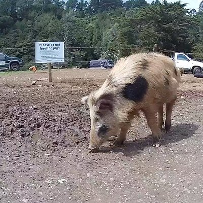 Cute pig