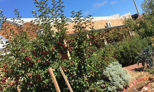 Some local crab apples and pears outside in the sunny garden to be used in dishes at the Provedo