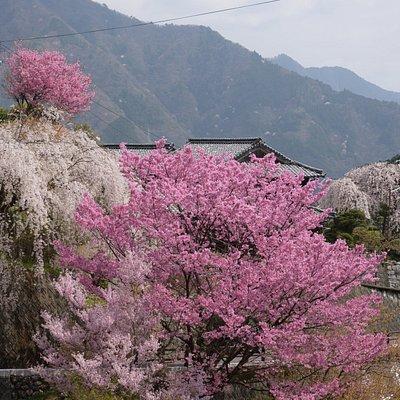 大石家のしだれ桜の全景です