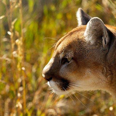 Sacajawea the mountain lion