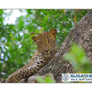 Sri Lankan Leopard (Panthera pardus kotiya)- 2018 Yala National Park - 🐾🐾🐆🐆