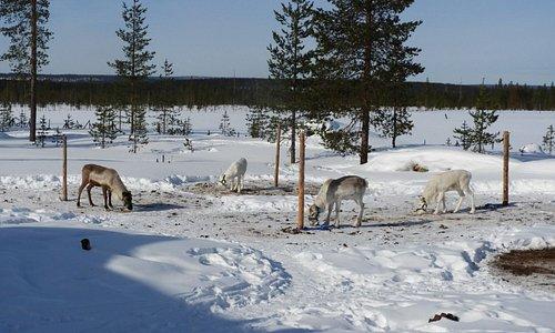 Reindeer at Eero's house