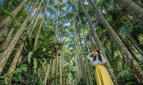 「ユス「ユスラヤシ並木」 一つの種から長い歴史の中で作り上げられた日本ではここでしか見られないユラヤシ並木」 一つの種から長い歴史の中で作り上げられた日本ではここでしか見られないユスラヤシの並