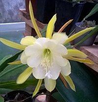 Epiphyllum flor amarilla