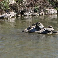 Turtles in the river