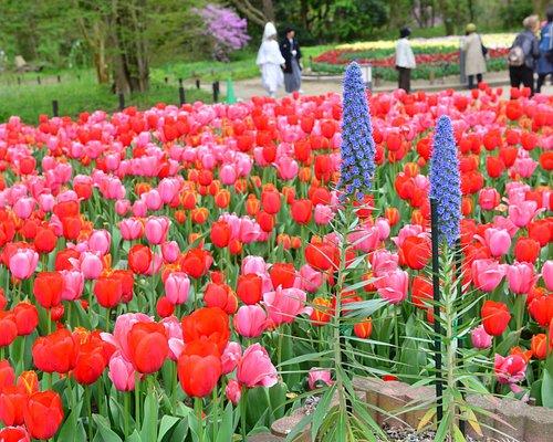 Beautiful tulips around the garden
