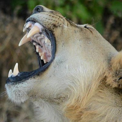 Lion yawn Pilanesberg National Park
