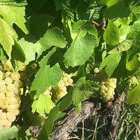 Beautiful ripe Chardonnay ready for the picking