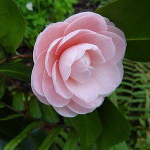 camellia japonica in Amstelglorie