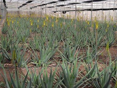 Visita parte de nuestros cultivos ecológicos de Aloe Vera de Canarias