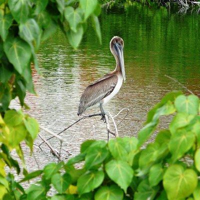 Brown Pelican at Great Salt Pond