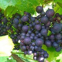 Pinot Noir grapes nearly ripe