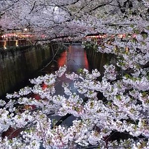 Cherry blossoms cascading down over the Meguro River