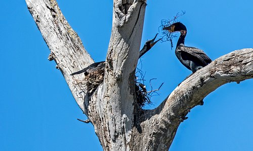Cormorant bringing nesting material to his lady